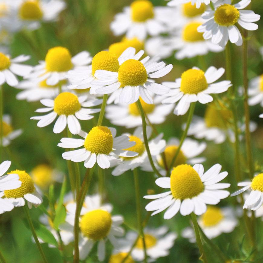 Kamille gesundes Naturprodukt wächst auf der Wiese