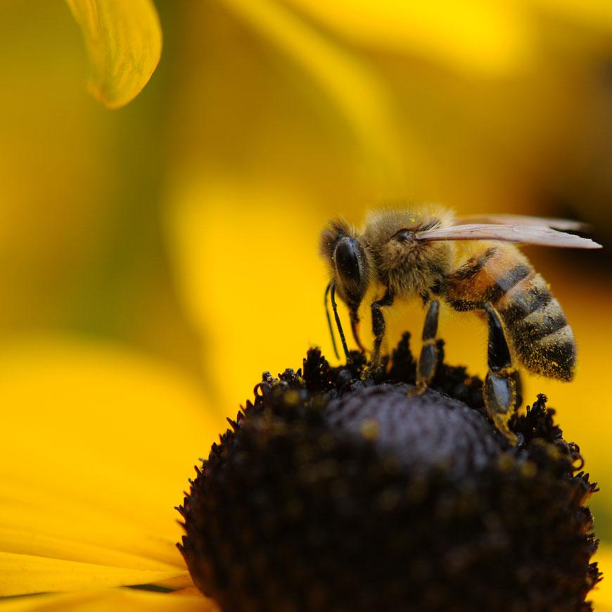 Propolis von Bienen für schöne Haut
