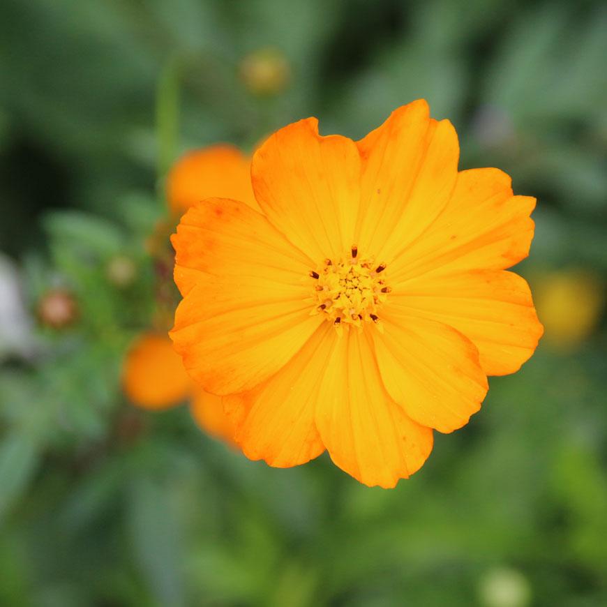 Ringelblume gesundes Naturprodukt